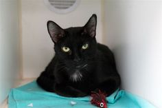 SASHA - 12457 - - Manhattan  *** TO BE DESTROYED 11/27/17 *** Shy, ebony lady needs someone to bring her out of her shell. She lived with 7 year old children but was nervous around other cats and tolerated dogs. Please speak up for this Black Beauty tonight! -  Click for info & Current Status: http://nyccats.urgentpodr.org/sasha-12457/