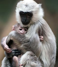 Ideas baby animals monkey mothers love for 2019 Baby Zoo, Cute Baby Animals, Animals And Pets, Funny Animals, Animal Babies, Primates, Beautiful Creatures, Animals Beautiful, Tier Fotos