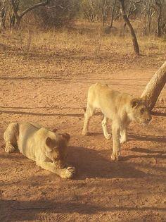 Lion Park - South Africa - http://www.travelmoodz.com/en/travel-professional/victor-kuznetsov