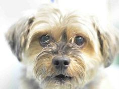 TO BE DESTROYED 09/26/17 **NEW HOPE RESCUE ONLY** Please Share: SUPER URGENT 09/13/17 HERSHEY A1125360 **HOLD FOR DOH-B** NTRD M BR/BL YORK TERR MIX 11 yrs OWNER SUR – BITEPEOPLE Intake & DueOut 09/13/17 Med Behav Eval YELLOW Med Summ:chip N BARH; Behavior – friendly, allows handling/treatment A: in good health P: continue to monitor Px: GOOD Wt 15.0