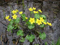 Mocsári gólyahír/Marsh Marigold (Caltha palustris) Calcea Calului - in jurul apei