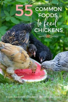 Feeding hens any of these 55 common foods from the kitchen will leave your flock healthy and happy. What Can Chickens Eat, Food For Chickens, Raising Backyard Chickens, Urban Chickens, Baby Chickens, Keeping Chickens, Plants For Chickens, Chicken Garden, Backyard Chicken Coops