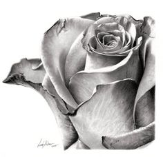 flower drawing rose