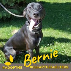 July 23rd is Clear the Shelters day. We're sharing adoptable animals now through the end of the month! Lets clean those shelters out of cuties like these! Meet Bernie a young black lab/greyhound mix with boundless energy This cutie is currently being cared for by our friends at Animal Ark. Visit their site to learn more about Bernie and about adoption options!