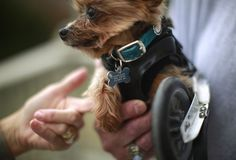 Meet Hope. The cutest Yorkshire Terrier on one wheel! #cute #dogs #puppy #yorkie #rescue