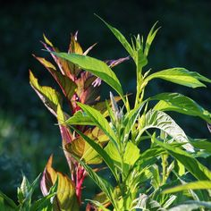 Celosia foliage