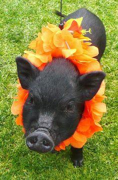 Hawaii Swine-O.