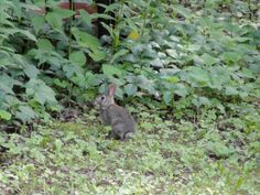 cottontail rabbit Norskedalen Nature  Heritage Center N455 County Road PI Coon Valley, Wisconsin 54623