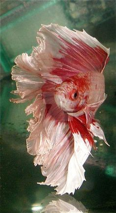 Betta fish named Karma. He is a Platinum Red Over-halfmoon betta. Betta Aquarium, Koi Betta, Betta Fish Care, Halfmoon Betta, Fish Fin, Beta Fish, Tropical Freshwater Fish, Tropical Fish, Freshwater Aquarium