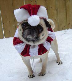 Christmas Pug (the hat AND the collar - O.O <3)