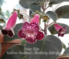 MY KOHLERIA: BİRKAÇ ADIMDA KOHLERİA BAKIMI Begonia, Cactus, Hanging Pots, Houseplants, Indoor Plants, Blackberry, Beautiful Flowers, Butterfly, African
