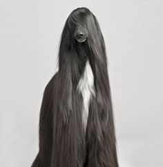 The Afghan Hound in America is an educational site all about the Afghan Hound. Before adopting an Afghan Hound learn all about this dog. The Afghan Hound is not just another dog. Big Dogs, I Love Dogs, Cute Dogs, Dogs And Puppies, Doggies, Hound Puppies, Giant Dogs, Afghan Hound, Animals And Pets