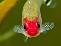 Hemigrammus bleheri, one of the rummynose tetras.