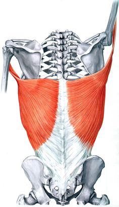 Latissimus Dorsi:  Learn Your Muscles Yoga Anatomy, Anatomy Study, Anatomy Reference, Human Anatomy, Anatomy Male, Anatomy Drawing, Bicep Tendonitis, Latissimus Dorsi, Muscle Anatomy