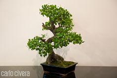 Pianta Bonsai, lo stile è nei dettagli. carlocivera.org #piantabonsai #composizioni