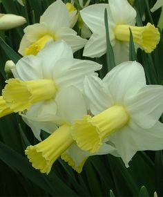 Narcissus Ara - Cyclamineus Narcissi - Narcissi - Flower Bulb Index