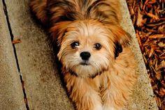Lhasa Apso Puppies!
