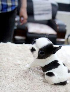 A Black & White Boston Terrier