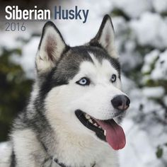 Siberian Husky Calendar 2016