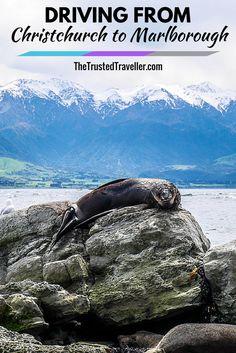 Seal at Kaikoura, New Zealand - Driving from Christchurch to Marlborough