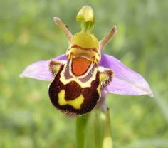 Blumenart  Die Biene