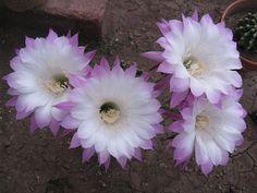 Echinopsis patrician