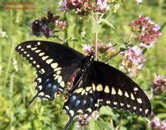 Image detail for -butterfly+garden-black_swallowtail_butterfly_4.jpg