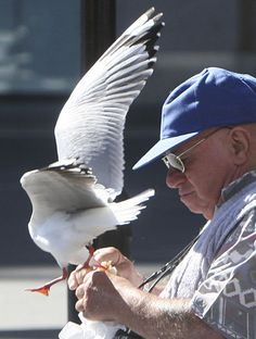 ~An unsuspecting tourist at Circular Quay in Sydney, Australia, has food snatched from under his nose by a brave seagull  AP PHOTO, ROB GRIFFITH