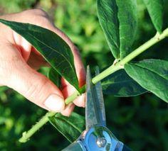 Размножение флоксов зелеными черенками » Все для дачи