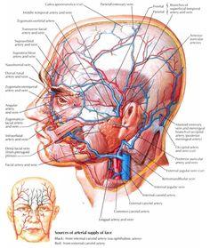Human Head Artery And Vein Supplement Diagram