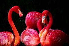 Pink Flamingos Key West, Florida Art Print by jeanpaulferro Smiling Animals, Fluffy Animals, Cute Animals, Animals Images, Flamingo Fabric, Flamingo Wallpaper, Tropical Wallpaper, Flamingo Pictures, Flamingo Photo