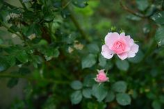 ~ The Last of the Roses for the Season ~