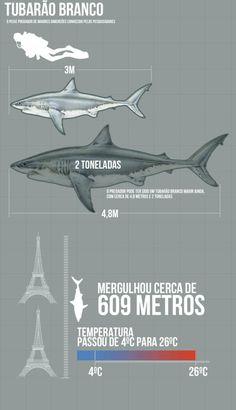 Predador que engoliu tubarão branco inteiro é identificado - Terra Brasil