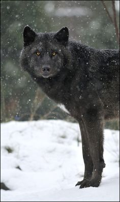 Black Wolf in the White Snow