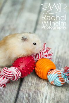 Tales of Tarcil: Dog Rope Balls. Rachel Wilhelm Photography ALL RIGHTS RESERVED #Tarcil #TalesofTarcil #RachelWilhelmPhotography #ilovemyhamster #hamster #hammy #syrianhamster #animals #cuteanimals #iloveanimals #FortWaynePhotographer #petphotographer #adorable