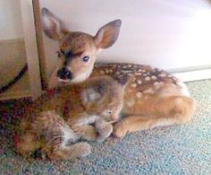 Baby deer  bobcat found after a forest fire, put in a room together and they were found like this! (Credit Lisa Mathiasen/ Animal Rescue Team) cherylalbanese