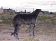 sottish deerhound phot | ... Scottish Deerhound Photos Scottish Deerhound Breeders Scottish