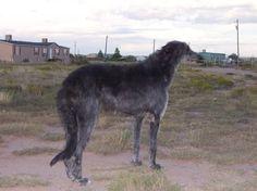 sottish deerhound phot | ... Scottish Deerhound Photos Scottish Deerhound Breeders Scottish