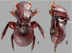 A new genus and species of flightless, microphthalmic Corythoderini (Coleoptera: Scarabaeidae: Aphodiinae) from Cambodia, associated with Macrotermes termites.