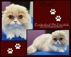 Those eyes! 😍Coco was as sweet as she is cute! Cat Hairstyles, Scottish Fold, Pretty Cats, Things To Come, Eyes, Hair Styles, Sweet, Artist, Cute