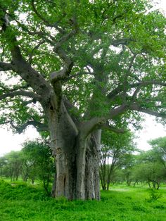 Baobab Tree Unique Trees, Small Trees, Baobab Tree, Serengeti National Park, Tree Forest, Wooden Hearts, Beautiful Scenery, Natural Wonders, Forests