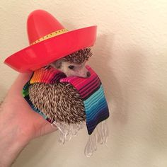 He gets dressed up for festive celebrations like Cinco de Mayo..