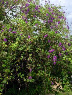 Florecitas lilas.Asunción-Paraguay