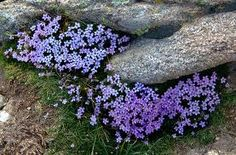 forget-me-nots in the alpine zone of the Rocky Mountains