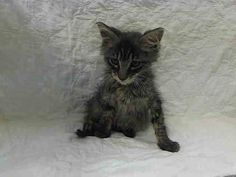 NYACC **URGENT**ADORABLE FLUFFY TABBY BABY ALERT** TO BE DESTROYED 7/19/14 Manhattan Center  My name is OAK. My Animal ID # is A1006722. I am a male brn tabby domestic sh. The shelter thinks I am about 9 WEEKS old.  https://m.facebook.com/photo.php?fbid=832833083395192&id=155925874419253&set=a.576546742357162.1073741827.155925874419253&source=43