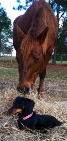 ❤ ~ Two of my favorite animals in the world ~ Doxies & Horses!
