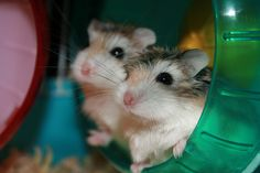This is the Roborovski hamster. They are VERY fast and are not recommended for first time hamster owners. They need a wheel that is between 4-6 inches in diameter. A good wheel is the silent spinner.
