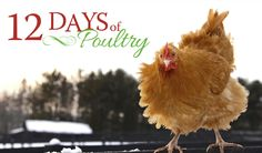 Countryside 12 Days of Poultry 2016