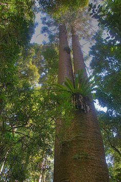 Bunya Mountain National Park, Queensland, Australia