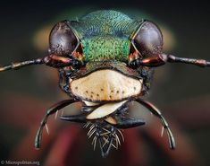 The face of the green tiger beetle, Cicindela campestris, does not hide its intentions. The powerful jaws are specialised for making mincemeat of any passing insect. Ground beetles often have beautiful colours. This tiger beetle has a green back, blue belly and purple legs.